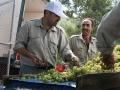 Arbeiter bei der Weinlese in Cremisan, Foto by Andrea Merli