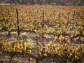 Weinstöcke im Weingarten von Cremisan, Foto by Stefano Pinci